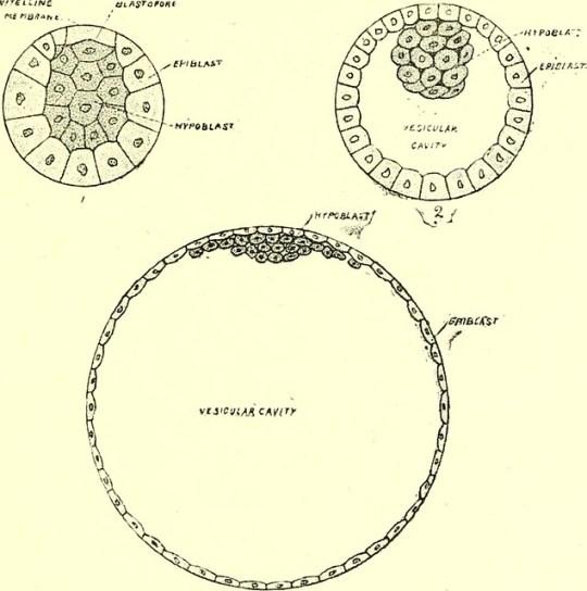Key Difference - Epiblast vs Hypoblast