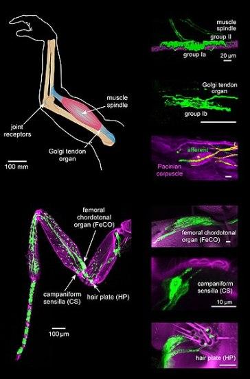 Difference Between Kinesthesis and Vestibular Sense