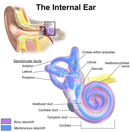 Key Difference - Kinesthesis vs Vestibular Sense