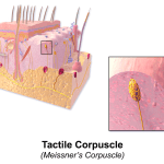 Difference Between Meissner's Corpuscles and Pacinian Corpuscles