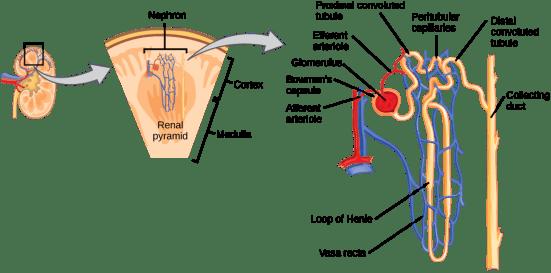 Difference Between Vasa Recta and Peritubular Capillaries