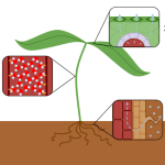 Difference Between Capillary Action and Transpiration Pull