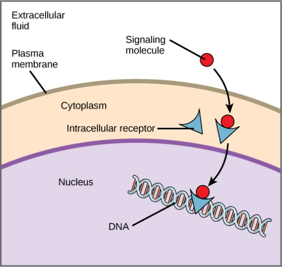 Difference Between Internal Receptors and Cell Surface Receptors