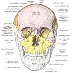 Difference Between Basal Bone and Alveolar Bone