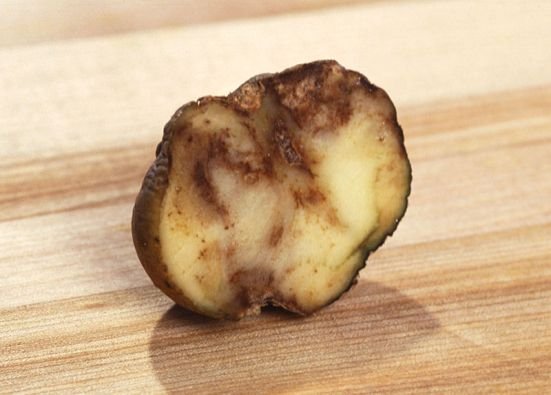 Difference Between Early Blight and Late Blight of Potato