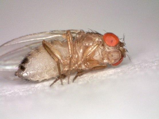 Key Difference - Male vs Female Drosophila melanogaster