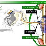 Difference Between Muscle Spindle and Golgi Tendon Organ