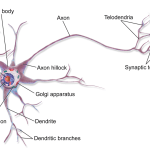Difference Between Multipolar Bipolar and Unipolar Neurons