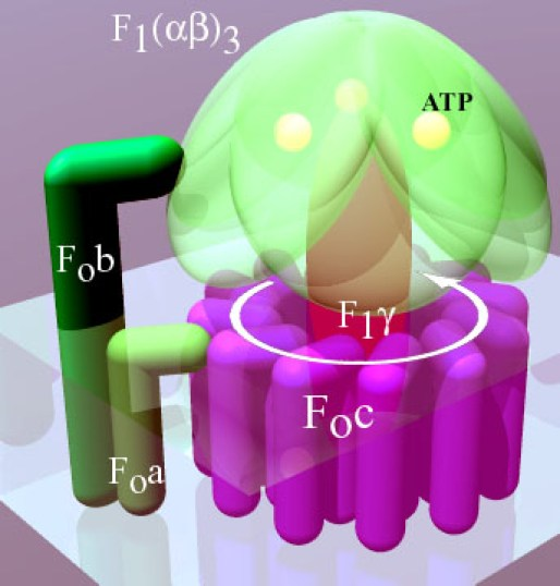 Difference Between Linear and Rotary Molecular Motors