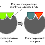 Difference Between Substrate Specificity and Bond Specificity