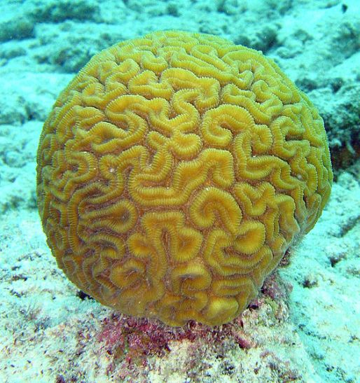 Key Difference - LPS vs SPS Corals