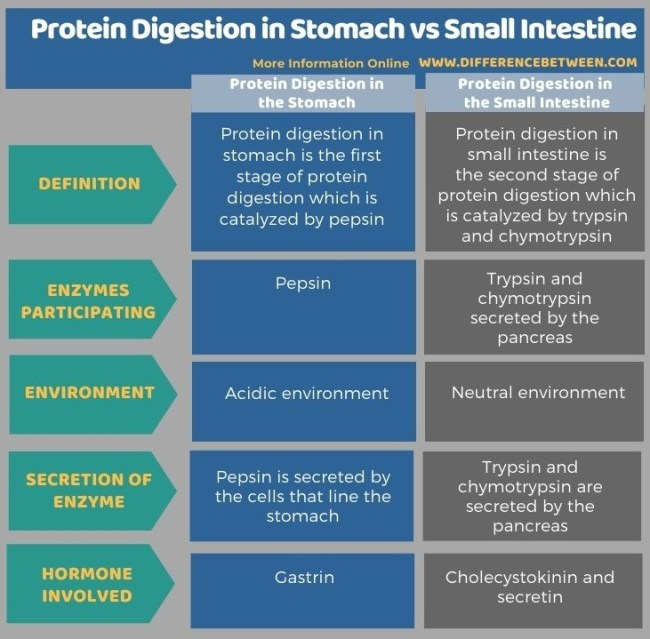 Difference Between Protein Digestion in Stomach and Small Intestine in Tabular Form