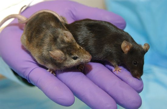 Difference Between Transgenic and Knockout Mice