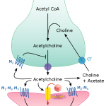 Difference Between Acetylcholine and Adrenaline