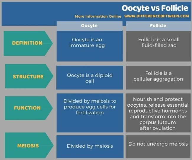 Difference Between Oocyte and Follicle in Tabular Form