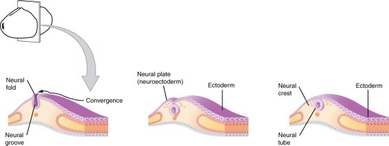 Difference Between Primary and Secondary Embryonic Induction
