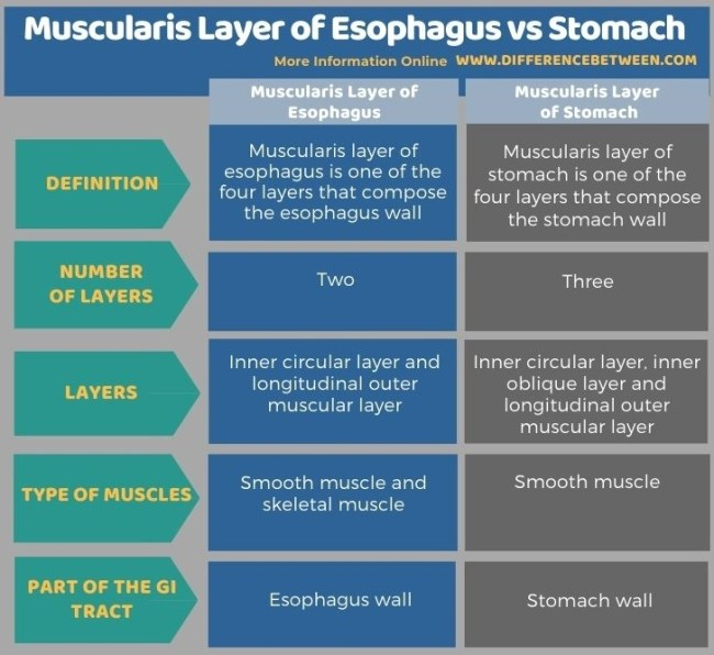Difference Between Muscularis Layer of Esophagus and Stomach in Tabular Form
