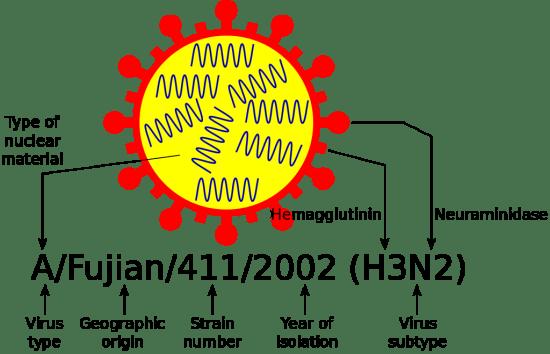 Difference Between Orthomyxovirus and Paramyxovirus