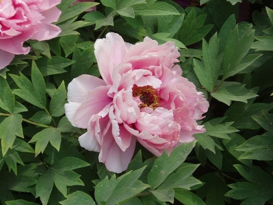 Difference Between Peonies and Ranunculus