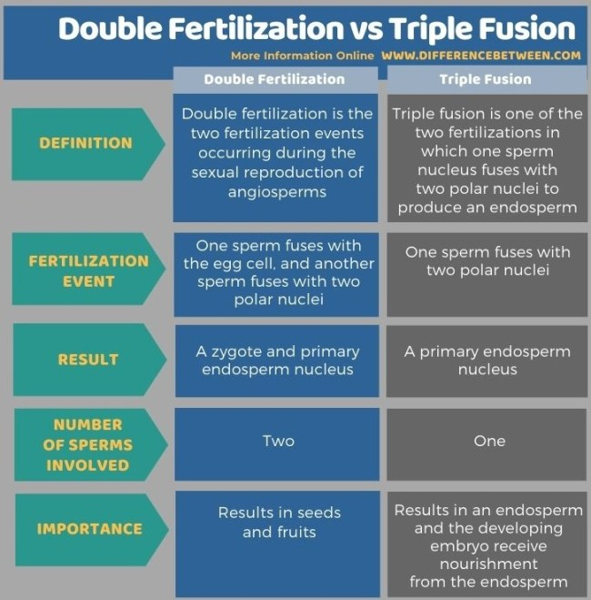 Difference Between Double Fertilization and Triple Fusion in Tabular Form