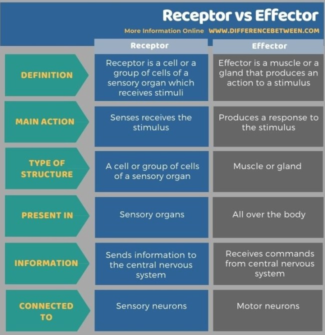 Difference Between Receptor and Effector in Tabular Form