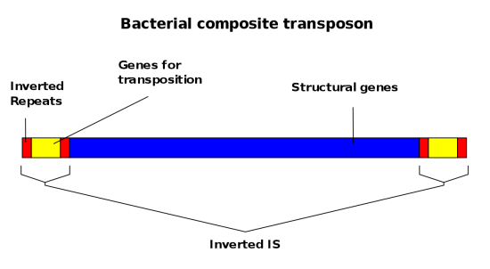 Difference Between Composite Transposons and IS Elements