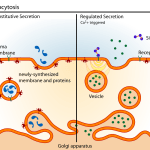 Difference Between Constitutive and Regulated Exocytosis