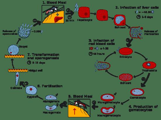 Key Difference - Merozoites vs Sporozoites