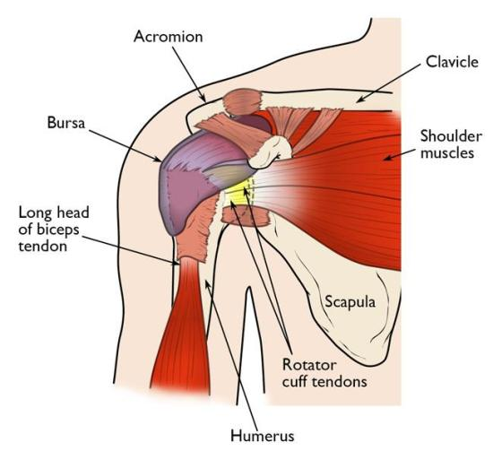 Difference Between Deltoid and Rotator Cuff