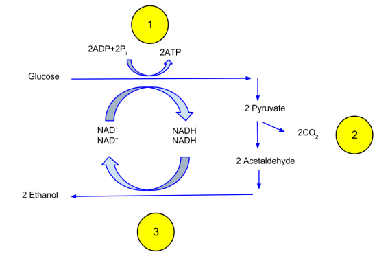 Difference Between Ethanol Fermentation and Lactic Acid Fermentation
