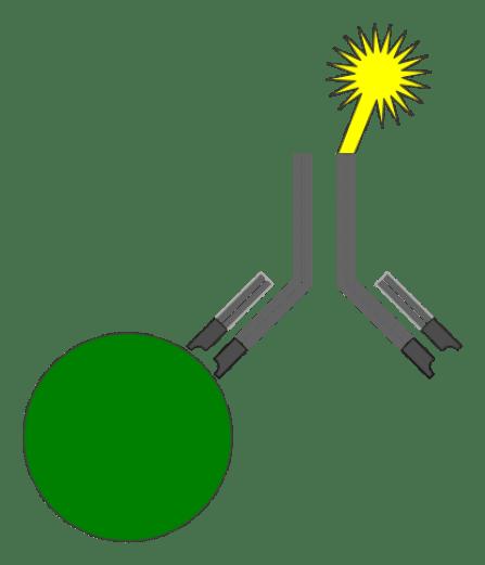Radioimmunoassay vs Immunoradiometric Assay