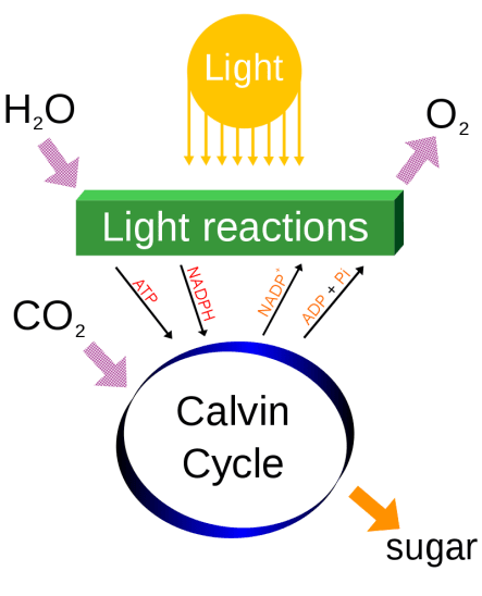 Gas Oxygen is used in Photosynthesis