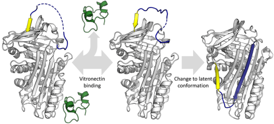 Fibronectin and Vitronectin Differences