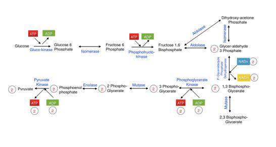 Glycolysis vs Krebs Cycle vs Electron Transport Chain