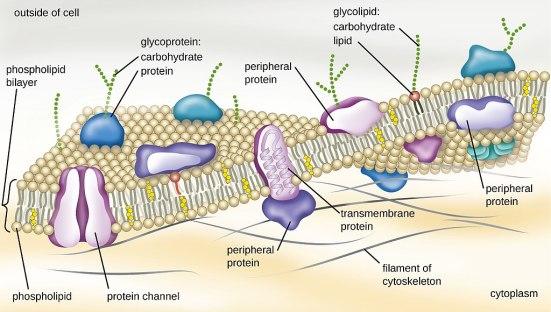 Integral Protein vs Peripheral Protein vs Surface Protein