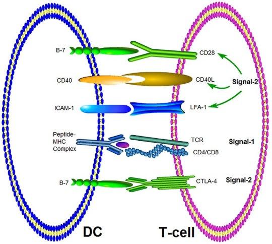 ICAM-1 vs VCAM-1 - in Tabular Form