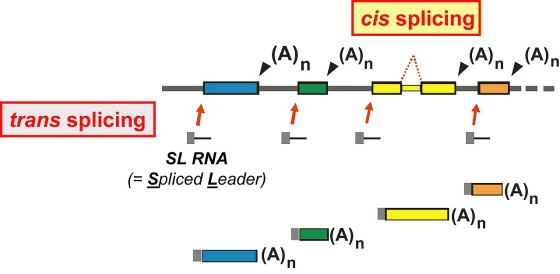 Cis vs Trans Splicing in Tabular Form