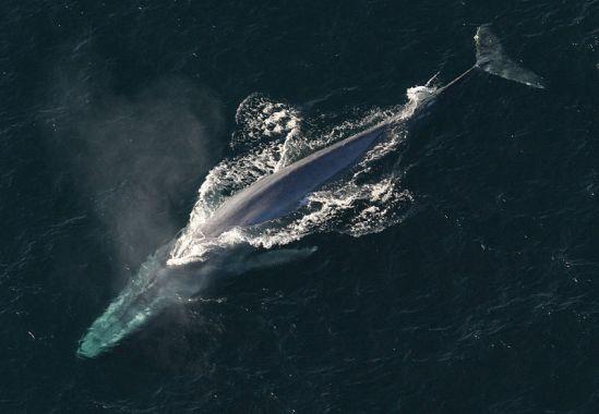 Cetacea vs Sirenia in Tabular Form