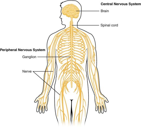 Diffuse and Centralized Nervous System - Side by Side Comparison