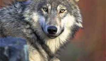 Difference Between Wolf and Husky Difference Between