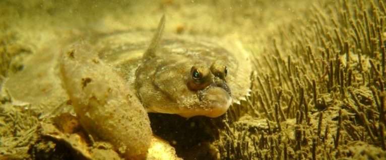 Un poisson plat avec deux gros yeux