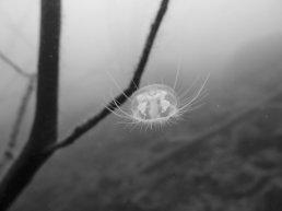 Méduses d'eau douce : portrait en noir et blanc