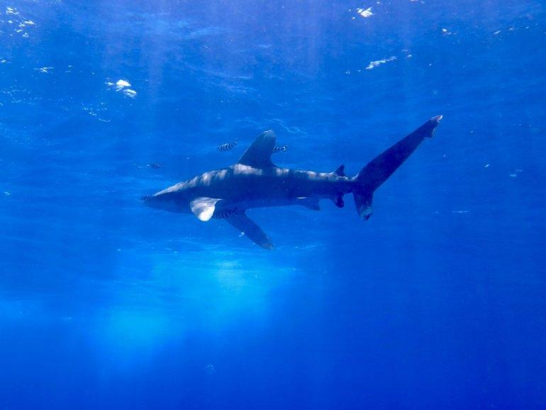Un requin longimanus photographié dans les eaux d'Elphinstone en Egypte