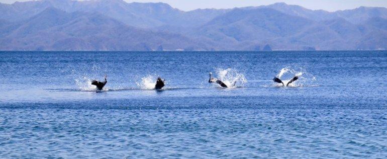 Quatre pélicans plongent en même temps dans l'océan.