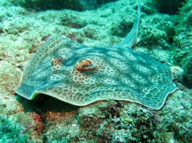 Jolie raie tachetée dans les eaux du Costa Rica