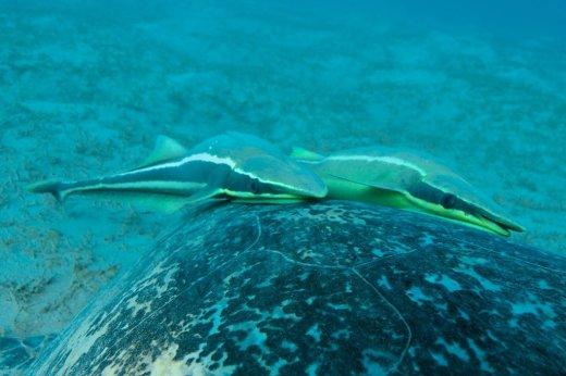 Deux rémoras sur le dos d'une tortue