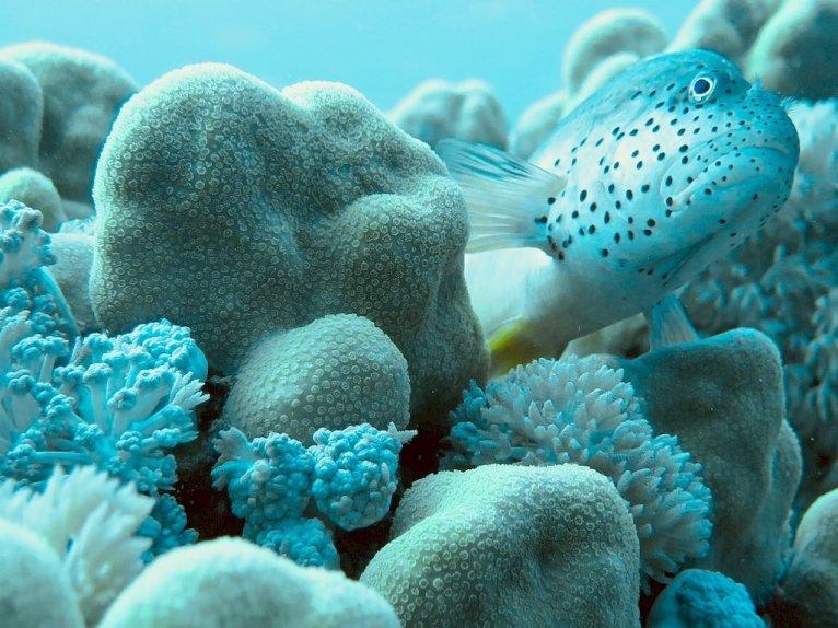 Un poisson caché dans les coraux