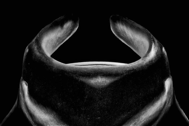 Une raie mania photographiée par Vincent Truchet