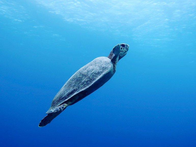 Une tortue en pleine eau remonte vers la surface témoigne de la beauté de la plongée