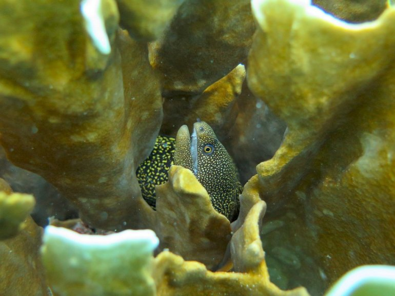 Une murène cachée dans un corail